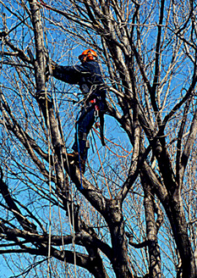 Tree-Removal-San-Jose-CA.jpg